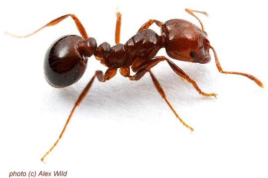 Red imported fire ant solenopsis invicta